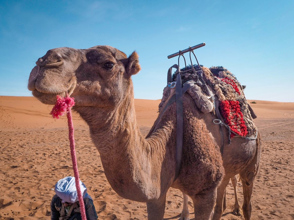Camel riding is an activity you need to thoroughly research if you want to travel responsibly in Morocco