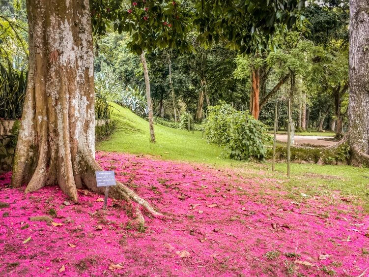 a tree with bright purple petals in the Botanical Gardens of Rio