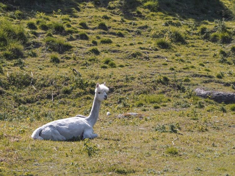 a white alpaca relaxing in the meadow on a sunny summer day on the Swedish island of Hven