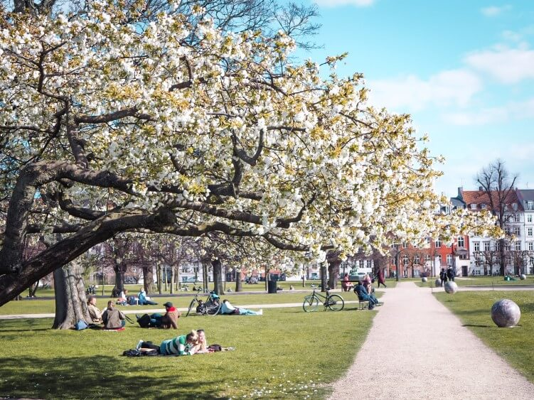 A blooming tree during spring in the King's Garden which is one of the most popular parks in Copenhagen and a place that should be in every Copenhagen bucket list