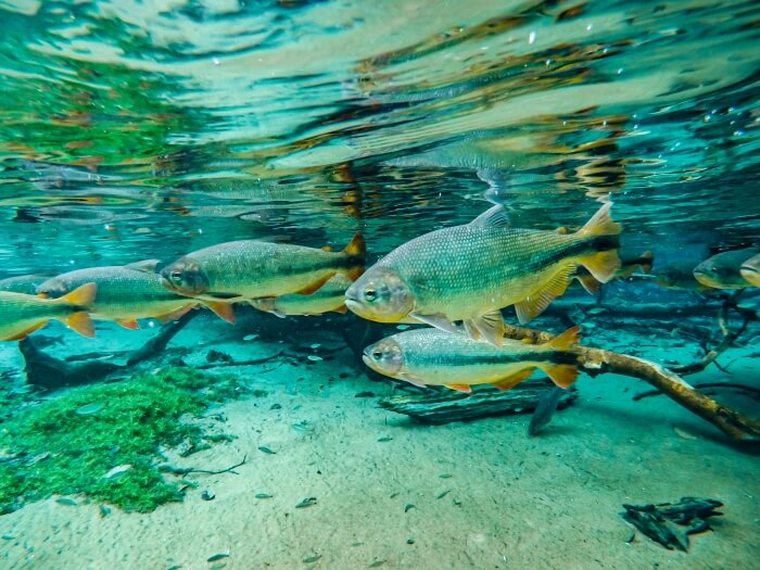 piraputanga fish swimming in the crystalline water of Prata river in Bonito, one of the best places to include in your 10 day Brazil itinerary