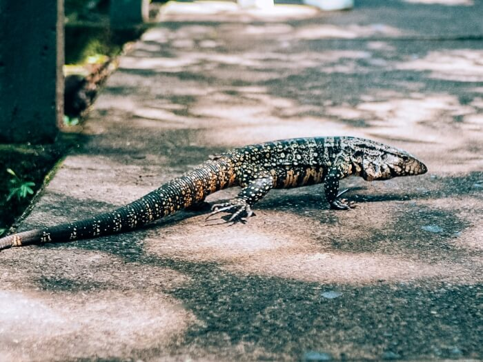 A large dotted lizard crossing a walkway, one of the most common animals at Iguazu Falls National Park, Brazil