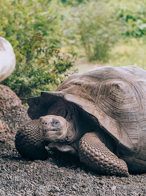 Visiting the El Chato reserve to admire giant tortoises is one of the best Galapagos land based tours to take