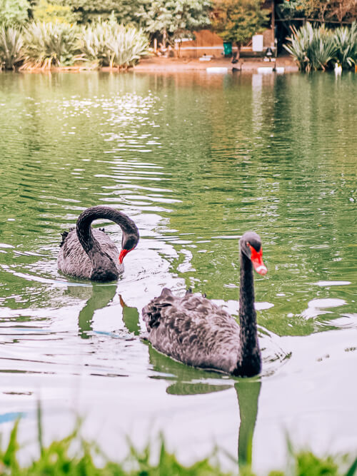 black swans on the lake in Ibirapuera park