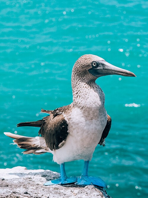 blue footed booby, one of the most famous Galapagos Islands animals