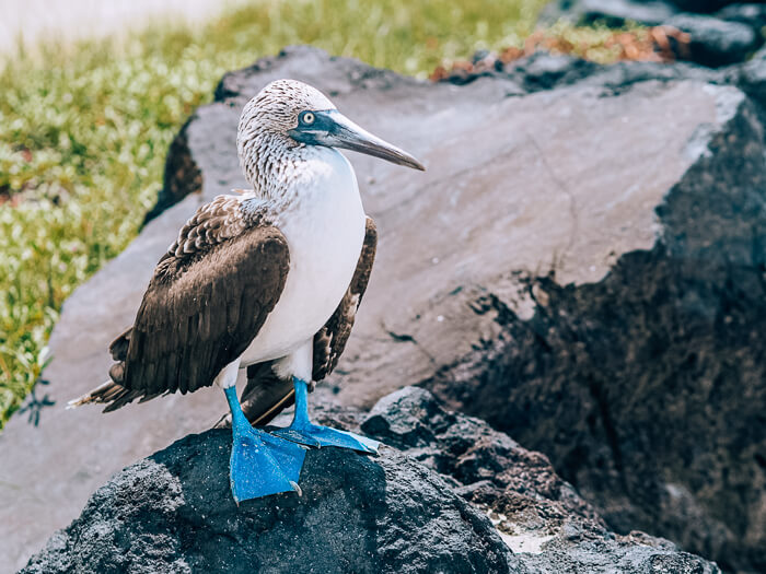 A blue-footed booby standing on a lava rock, one of the coolest animals to see when you're backpacking Galapagos
