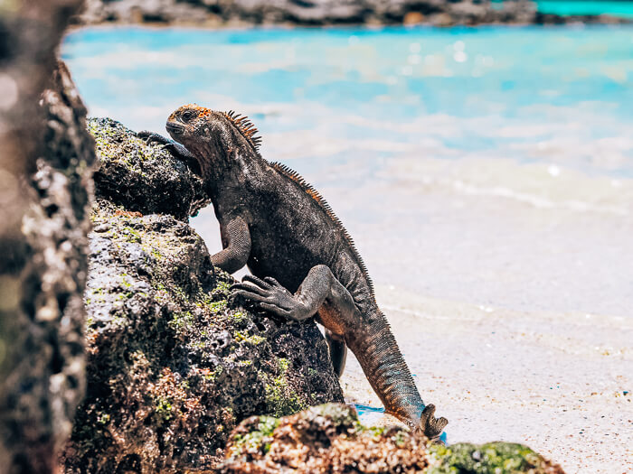 A marine iguana at Playa de la Estacion on Santa Cruz Island, Galapagos.