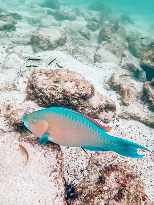 a colorful parrotfish, a common fish to see when snorkeling in the Galapagos Islands, Ecuador