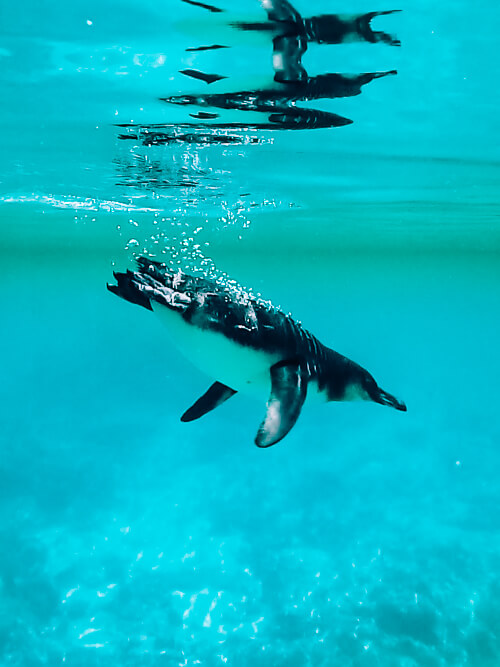 Swimming with Galapagos penguins at Isabela island is one of the best Galapagos land based tours to take