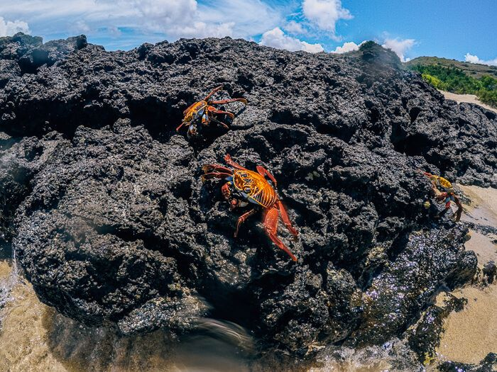 Sally lightfoot crabs standing on a volcanic rock, one of the most common animals to see when visiting Galapagos on a budget