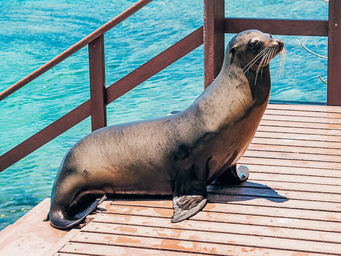 A sea lion standing on a staircase on Isabela island, Galapagos