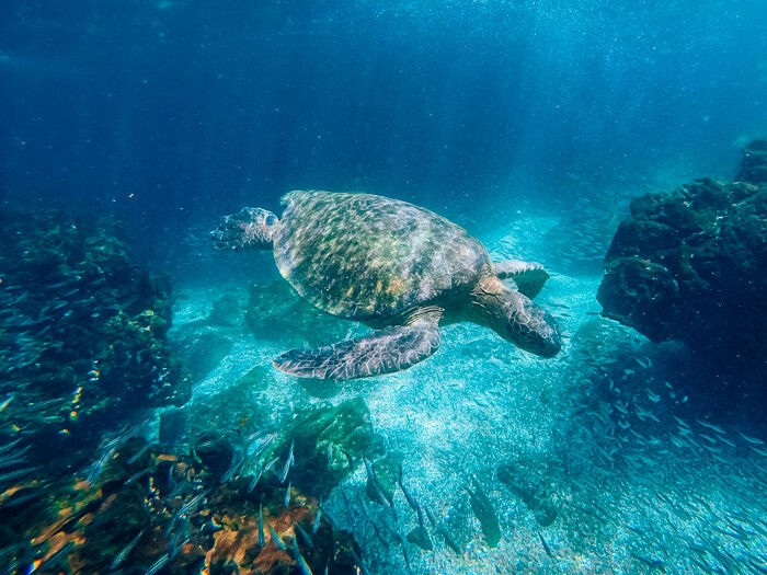 A sea turtle swimming in turquoise water, an animal you can easily spot even when you're backpacking Galapagos on a budget