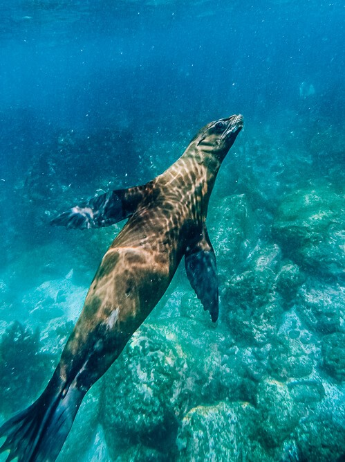 Swimming with sea lions at San Cristobal is one of the best free things to do in the Galapagos Islands