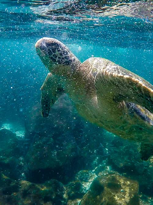 a sea turtle in the blue waters of Muelle Tijeretas at San Cristobal Island.