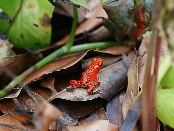 A small strawberry poison-dart frog sitting on a leaf in a rainforest in Panama
